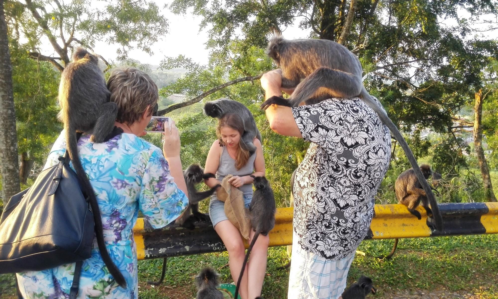 серебристые обезьянки лангуры | Экскурсии В Малайзии